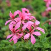 Tried & True Geranium Clio Cascading Pink