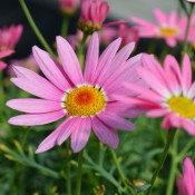 Tried & True Argyranthemum