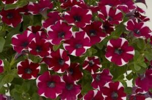T&T Petunia SunPassion Raspberry Ripple