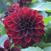 Tried & True Dahlia Hypnotica Crimson Garnet