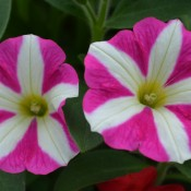 Tried & True Petunia SunPassion Raspberry Ripple