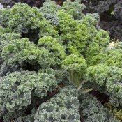 Tried & True Vates Blue Curled Kale