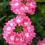 Tried & True Verbena Sweet Dreams Pink Moon