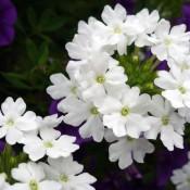 Tried & True Verbena Sweet Dreams White Night
