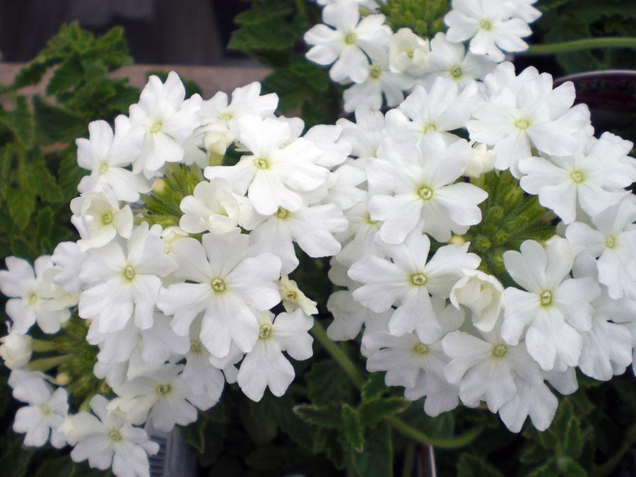 VERBENA, Sweet Dreams™ White Night
