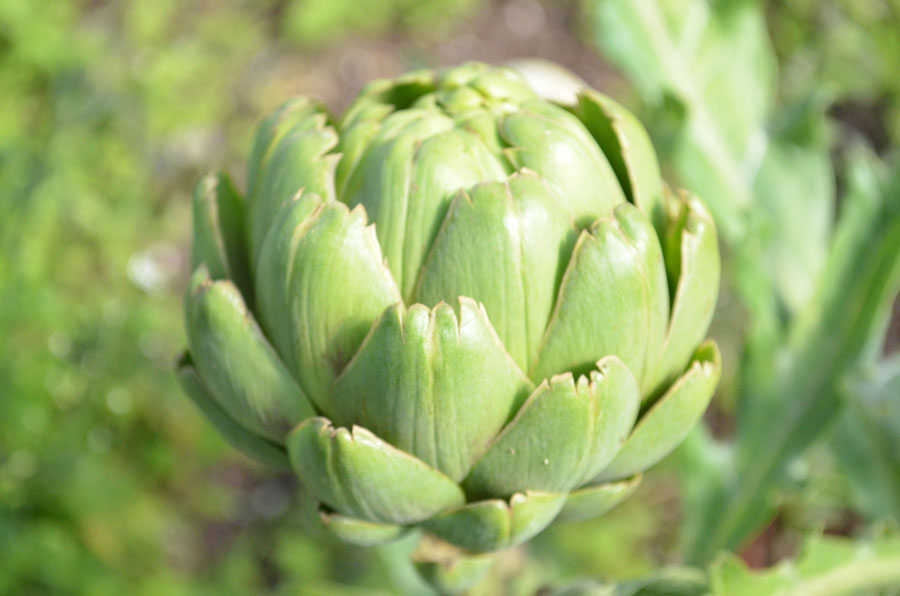 how to grow imperial star artichoke