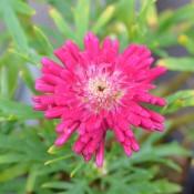 Tried & True Argyranthemum Cabernet Serenade