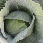 Tried & True Cabbage Farao