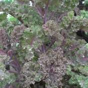 Tried & True Kale Redbor