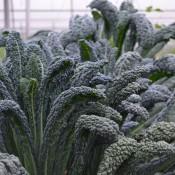 Tried & True Kale Lacinato Black Magic