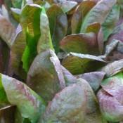 Tried & True Lettuce Rouge d'Hiver