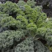 Tried & True Kale Vates Blue Curled