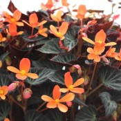 Tried & True Begonia Sparks Will Fly