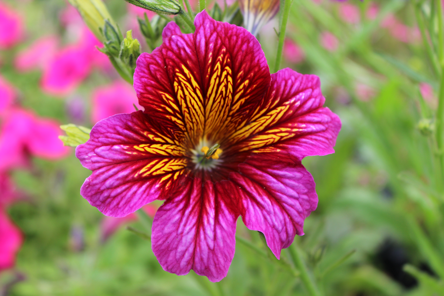 Salpiglossis Painted Tongue Tried And True