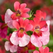 Affection is a fantastic accent plant in hanging baskets and window boxes.
