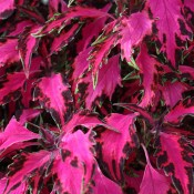Luminesce is a top-pick coleus that adds depth and rich colour to containers, borders, and hanging baskets.