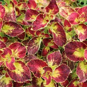 Scarlett is a bold and eye-catching coleus that will help to create a spectacular display.