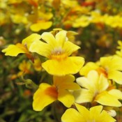 Delight is a bold, fade resistant nemesia that is a perfect accent plant in mixed pots, hanging baskets, and window boxes.