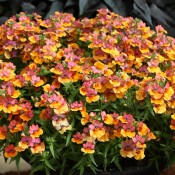 Prestige is a bold, fade resistant nemesia that is a perfect accent plant in mixed pots, hanging baskets, and window boxes.