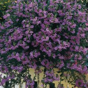 Saphira is a low maintenance, high performance scaevola perfect for baskets, containers, and windows.