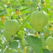 This tomatillo variety will produce high yields of large, firm fruit.