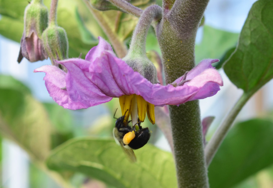 Bee On Eggplant Blossom