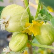 Taste of the Season Cucumber Lemon