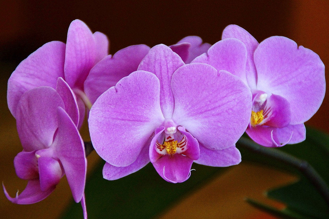 Luck wealth health orchid biocorpaavc