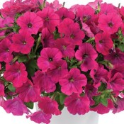 T&T Petunia SunPassion Candy Pink