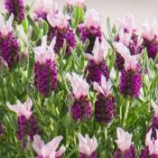 Lavender Bandera Pink