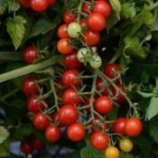 Candyland Tomato