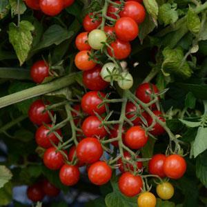 Tomato Candyland