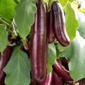 Eggplant Hansel