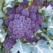 Red Fire F1 Sprouting Broccoli
