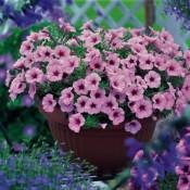 GGG-Sweet-Petunia-1024x741