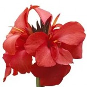 T&T Canna Cannova Red Shades