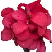 T&T Canna Cannova Rose 1