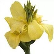 T&T Canna Cannova Yellow