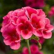 T&T Geranium Calliope Rose Mega Splash