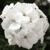 T&T Geranium Calliope White