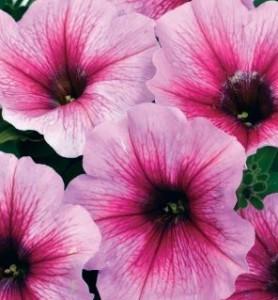 T&T Petunia SunPassion Cherry Vein