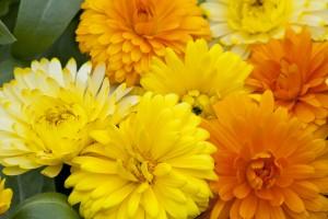 Ediblossoms Calendula Sunshine Mix
