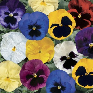 Ediblossoms Pansy Gourmet Mix