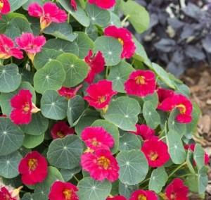 Ediblossoms Nasturtium Baby Rosé