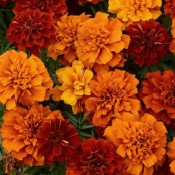 Marigold Fireball